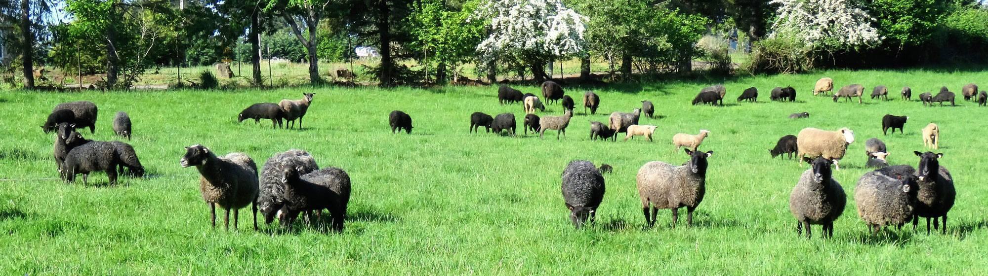 American Gotland Sheep | Upcoming Events